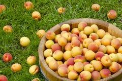 Aprikors i en träbunke Arkivfoton