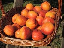 Aprikors i en vide- korg Arkivbild