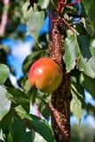 Aprikors som växer på träd Arkivfoton