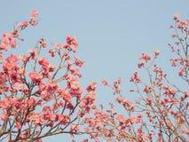 Aprikos-blomman/fjädrar/japan Arkivbilder