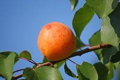 Aprikos i trädgård Arkivbild