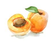 Aprikos med sidor, vattenfärgillustration Arkivbild