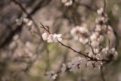 Aprikos med vita blommor i vår Royaltyfri Bild