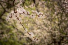Aprikos med vita blommor i vår Arkivfoto