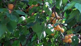 Aprikos på träd lager videofilmer