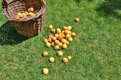 Aprikosar i korg Arkivfoto