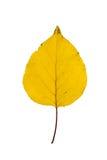 Aprikosblad arkivfoto