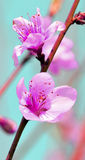 aprikosblomma Arkivfoto