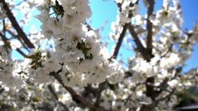 Aprikosblomma på träd i natur arkivfilmer