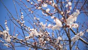 Aprikosblomma som blomstrar på en blå bakgrund lager videofilmer