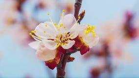 Aprikosblomma som blomstrar tidschackningsperiod