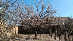 Aprikosblommaträd royaltyfria foton