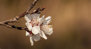 Aprikosblommor Royaltyfria Bilder