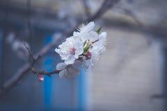 Aprikosblommor arkivfoto