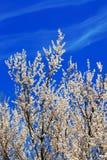 Aprikosblomning Fotografering för Bildbyråer