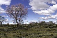 Aprikosblomning av lavaplatån Arkivbild