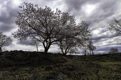 Aprikosblomning av lavaplatån Arkivbilder