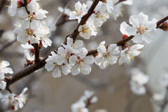 Aprikosblomning i tidig vår Royaltyfri Foto