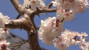 Aprikosblomning i trädgården arkivfilmer