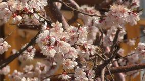 Aprikosblomning i tr?dg?rden arkivfilmer