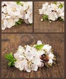Aprikosblomning. Uppsättning av vårblommor Arkivfoton