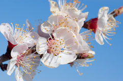 aprikosblomningar Royaltyfria Bilder