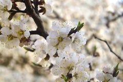 Aprikosblomningar Royaltyfri Foto