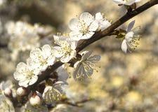 Aprikosblomningar Royaltyfria Foton