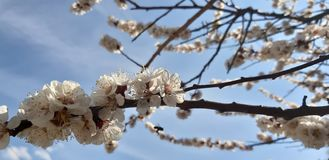Aprikosblomningfilial Blommor p? en filial bl? sky royaltyfri foto