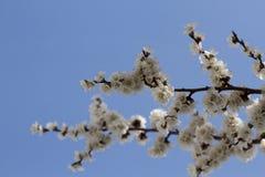 Aprikose blüht auf einem Hintergrund des blauen Himmels Stockbild
