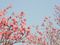 Aprikose-Blume/Frühling/Japan Stockbilder