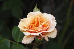 Aprikose farbige Rose Lizenzfreie Stockfotografie