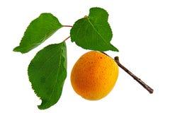 Aprikose, getrennt auf weißem Hintergrund Stockfotos