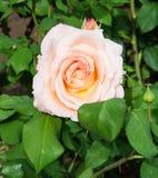 Aprikose Nectar Rose Lizenzfreie Stockfotografie