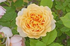 Aprikose-orange Farbe Englisch-Rose im Rosengarten stockfoto