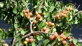 Aprikose, reif und bereit zur Ernte stock video footage