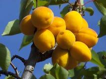 Aprikosen auf Baum Lizenzfreie Stockbilder