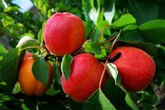 Aprikosen auf Baum Lizenzfreies Stockbild