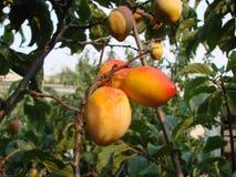 Aprikosen auf dem Baum Lizenzfreie Stockbilder