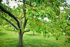 Aprikosen-Bäume Lizenzfreie Stockfotos