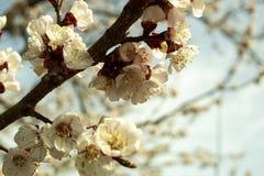 Aprikosen-Baum-Blüte mit weißen Blumen lizenzfreie stockfotografie