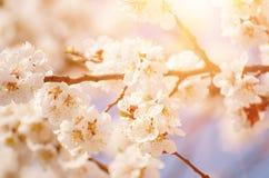 Aprikosen-Baum-Blüten stockfoto