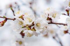 Aprikosen-Baum-Blüten lizenzfreie stockbilder