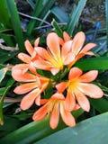 Aprikosen-Blühen voll lizenzfreie stockfotografie