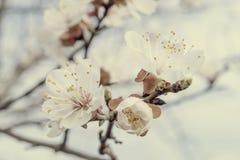 Aprikosen-Blüte auf Niederlassung Stockfotos