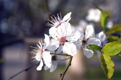 Aprikosen-Blüten lizenzfreie stockbilder