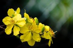 Aprikosen-Blüten Stockfoto