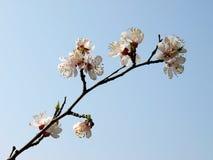 aprikosen blommar treen Arkivfoto