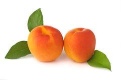 Aprikosen frisch vom Baum stockfotografie