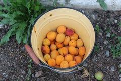 Aprikosen im Eimer Stockbilder